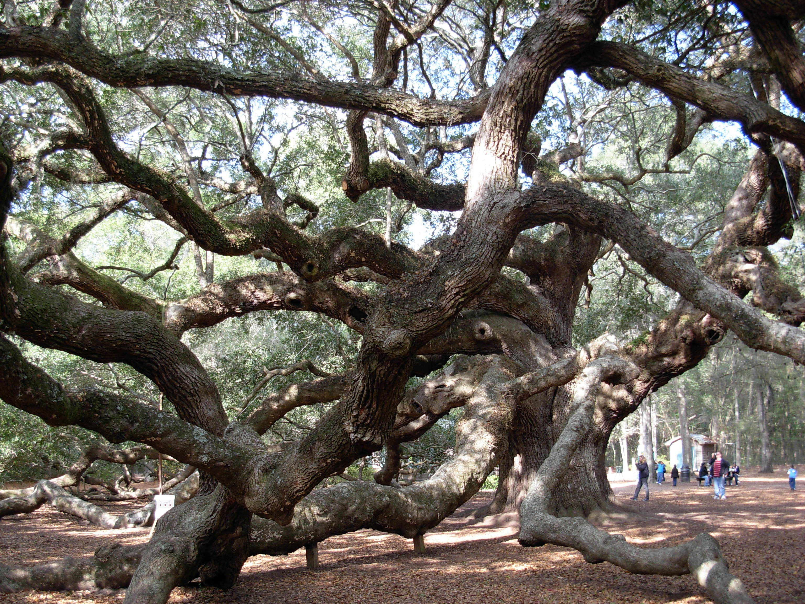 A Spiritual Treasure—Angel Oak - Southern Spirit Guide