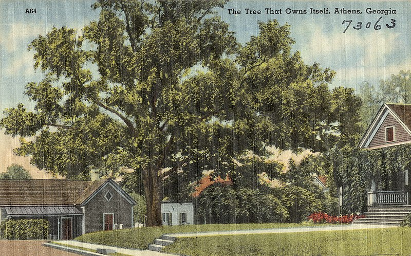 Postcard of the Tree That Owns Itself Athens Georgia