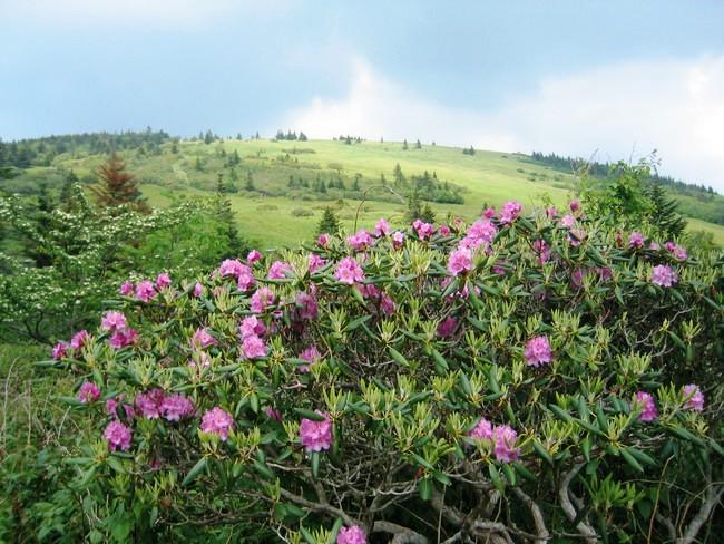 Rhododendron Roan Mountain North Carolina
