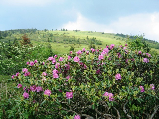 Rhododendron Roan Mountain North Carolina